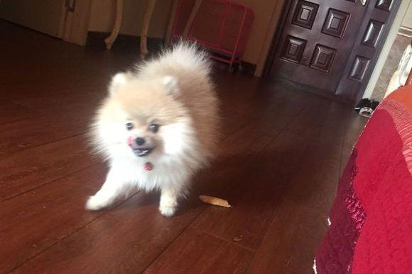 博美不需要主人陪,它自己在家也玩得很好,狗:有吃的就行