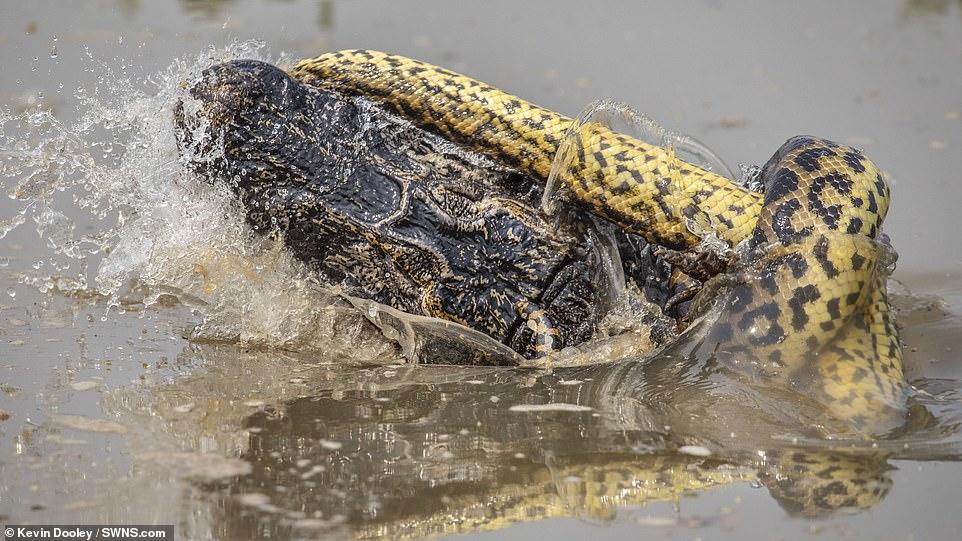 摄影师10米外惊见亚马孙8.5米巨蟒绞杀鳄鱼,拧断鳄鱼四条腿