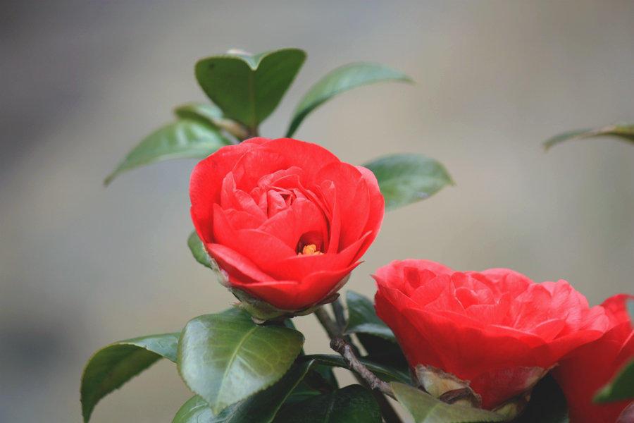 茶花叶子_四季茶花养护技巧,教你几妙招,叶子翠绿,花开艳丽爆盆