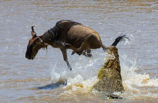 角马过河被鳄鱼撕咬,角马会顺从弱肉强食的自然法则被鳄鱼咬死吗
