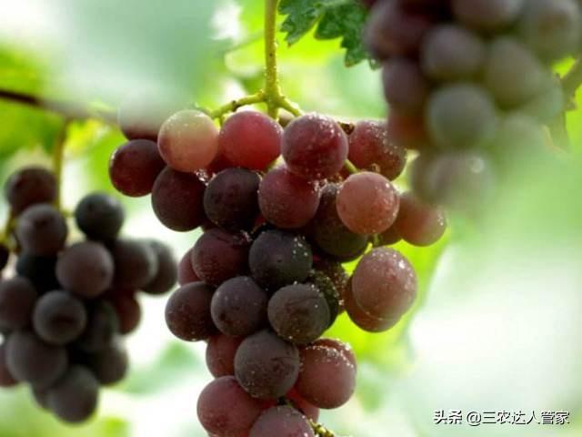 【秋季吃葡萄,功效堪比冬虫夏草】冬虫夏草主要功效