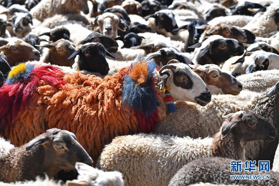 """西藏""""数羊头""""传统活动(组图)"""