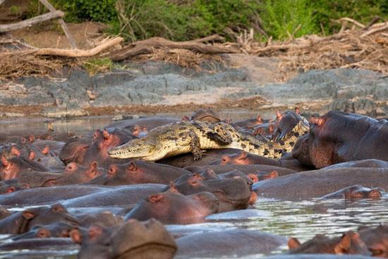 鳄鱼单挑一群河马结局如何
