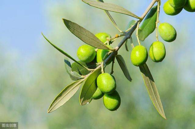 橄榄有什么营养价值和功效?听听营养专家怎么说