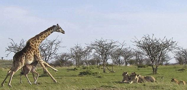 长颈鹿母子毫发无伤的从狮子群中走出来了,它为什么这么自信?