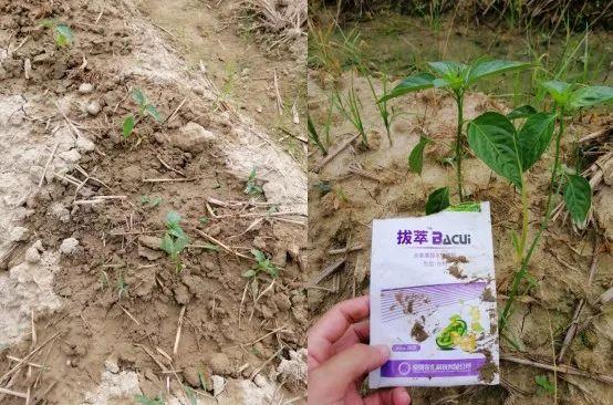 定植者_蔬菜定植时采取这3个措施!会缩短缓苗期