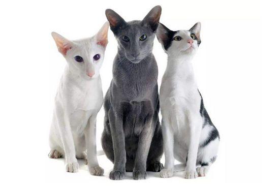 东方短毛猫哪个颜色贵图片