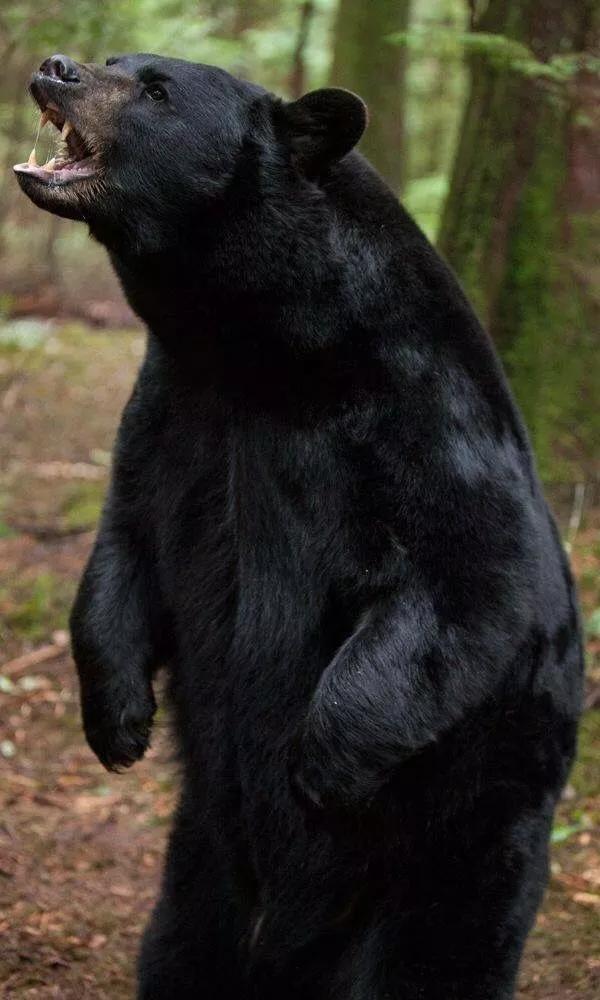 悲剧!女富豪买下加拿大小岛,结果在岛上被黑熊生吞活剥!