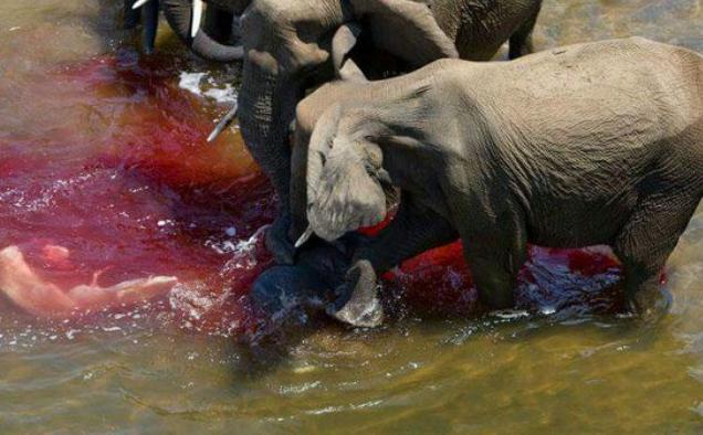 河里突然被鲜血染红,游客发现原来这群大象染红的