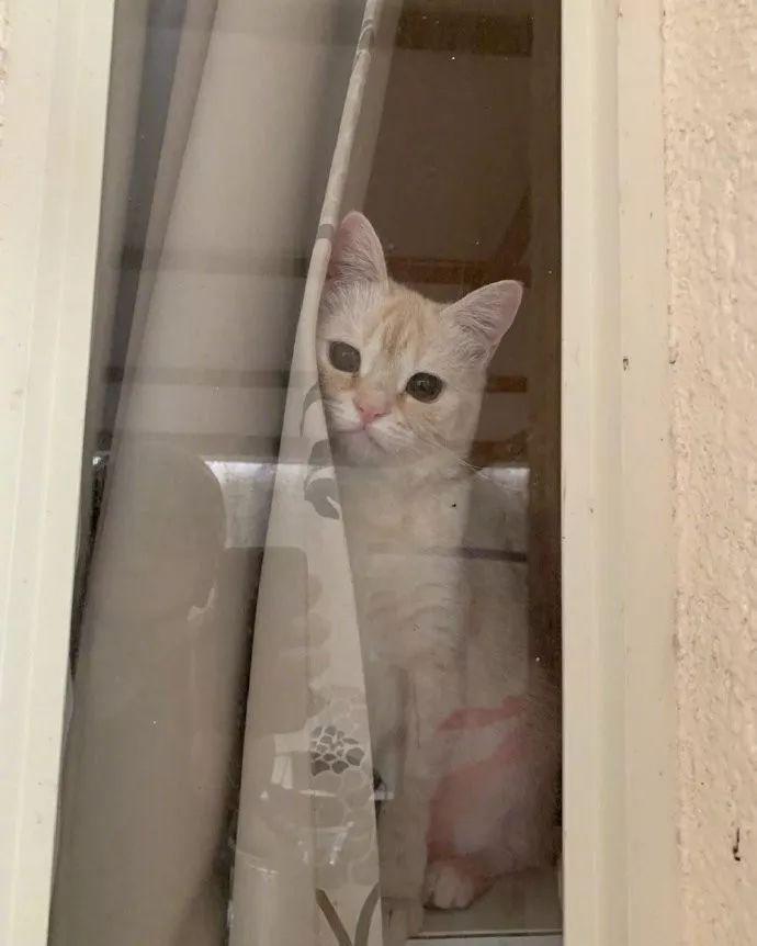 这班没办法上了,网友一出门猫就拨开窗帘目送他离开,萌炸了!