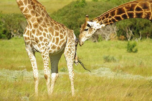 长颈鹿艰难生产全程被游客目睹!突然出现的一幕,感动在场所有人