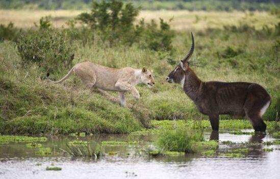 落单羚羊大战狮子结果意外