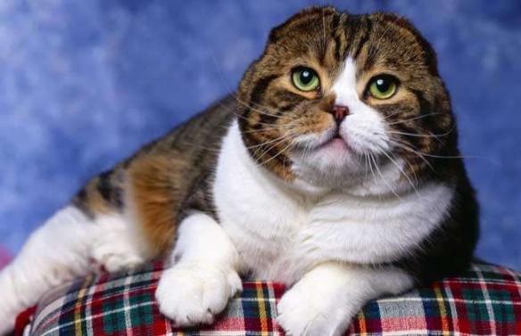 十大最受欢迎猫咪品种盘点 做一个有猫的人我表示全都要