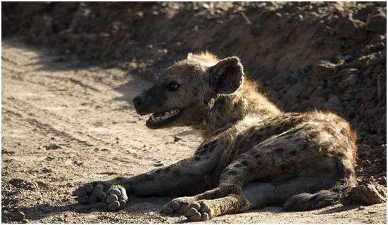 雄狮叼着无生命体征的猎物,放下离开后鬣狗一脸懵逼醒过来