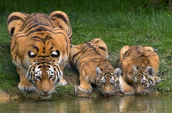 先帮忙后付钱_原创 浓眉大眼的老虎还隐藏着另一双眼睛,要不是我说你肯定看不出来