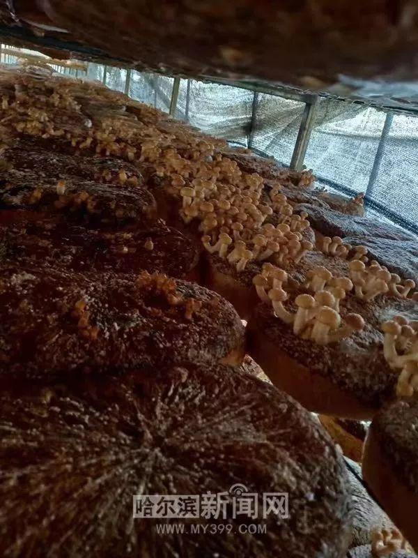 别只盯着大闸蟹,冰城秋天有山珍季丨地产滑子菇大量上市,还有秋木耳、猴头菇和圆蘑