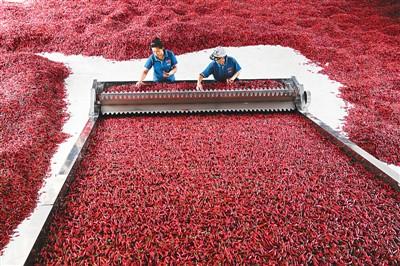 小辣椒做成大产业