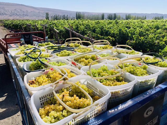 吐鲁番的葡萄成熟了,5块钱一公斤的无核白葡萄吃起来