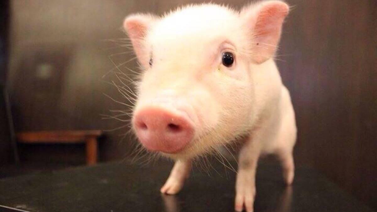 最值钱的猪_人工智能公司还不如猪值钱