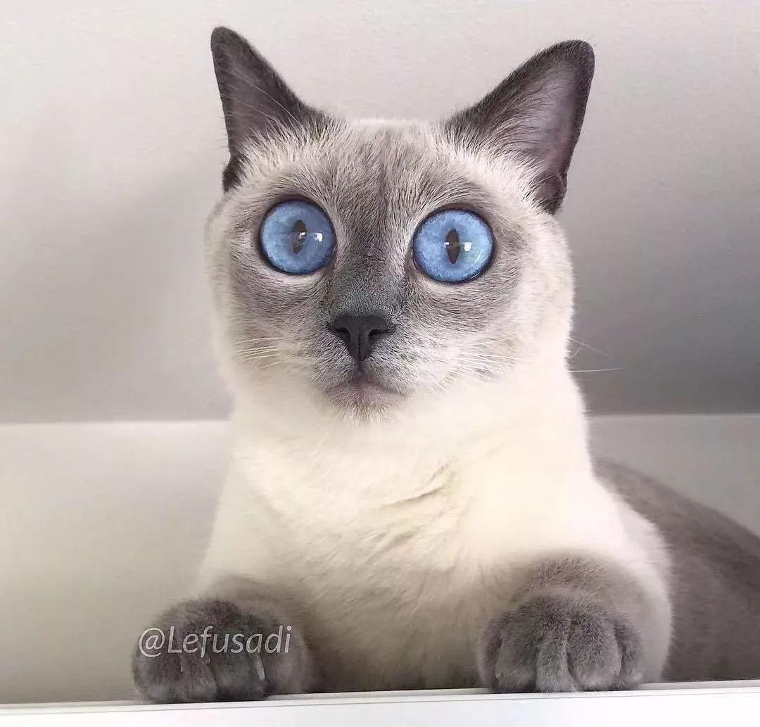 暹罗猫一旦画风仙起来,会是什么样?