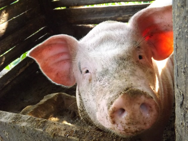 人民日报海外版:推动生猪产业高质量发展