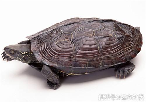 <b>《凶煞化解法》之《龟的摆放》建议收藏以备不时之须</b>