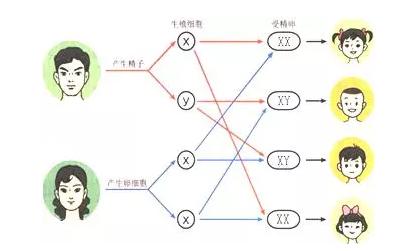 WWW_5X5XX_COM_所以人的性别决定与性染色体有关:女性的表示方式是22常染色体对 xx.