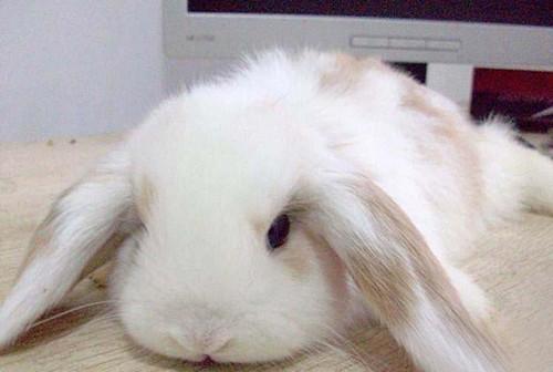 西施兔耳朵痒是什么病,西施兔耳朵痒怎么办