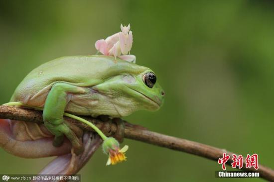 """暴雨成灾!印度这对祈雨蛙被迫""""离婚""""(图)"""