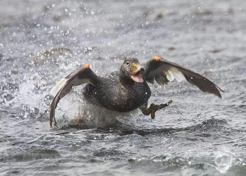 有翅膀却不会飞,这种鸭子太难了