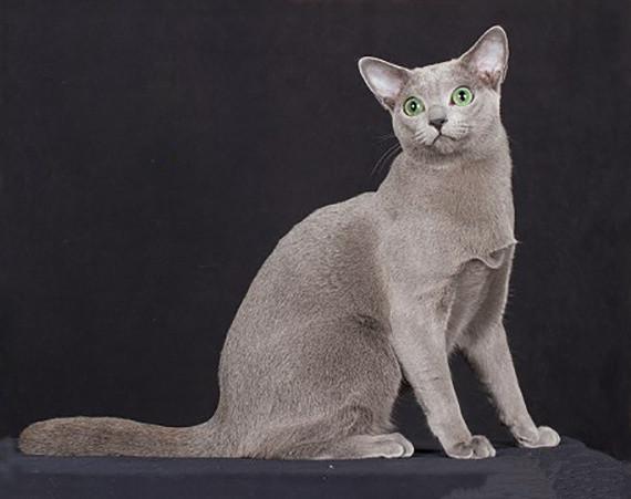 科拉特猫和蓝猫的区别图片