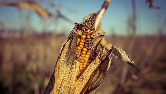 农业农村部:草地贪夜蛾对玉米主产区威胁全面解除