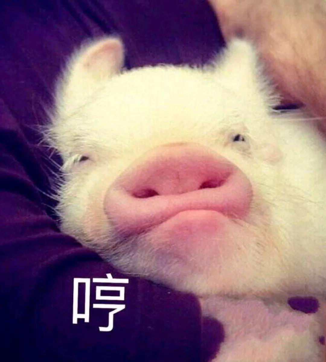 猪吃饭的照片