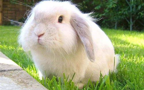 【兔兔の饲养经验】安哥拉兔口角炎怎样痊愈快
