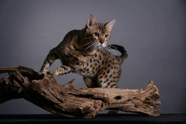 """被称为猫中贵族""""行走的人民币""""之一——孟加拉豹猫"""