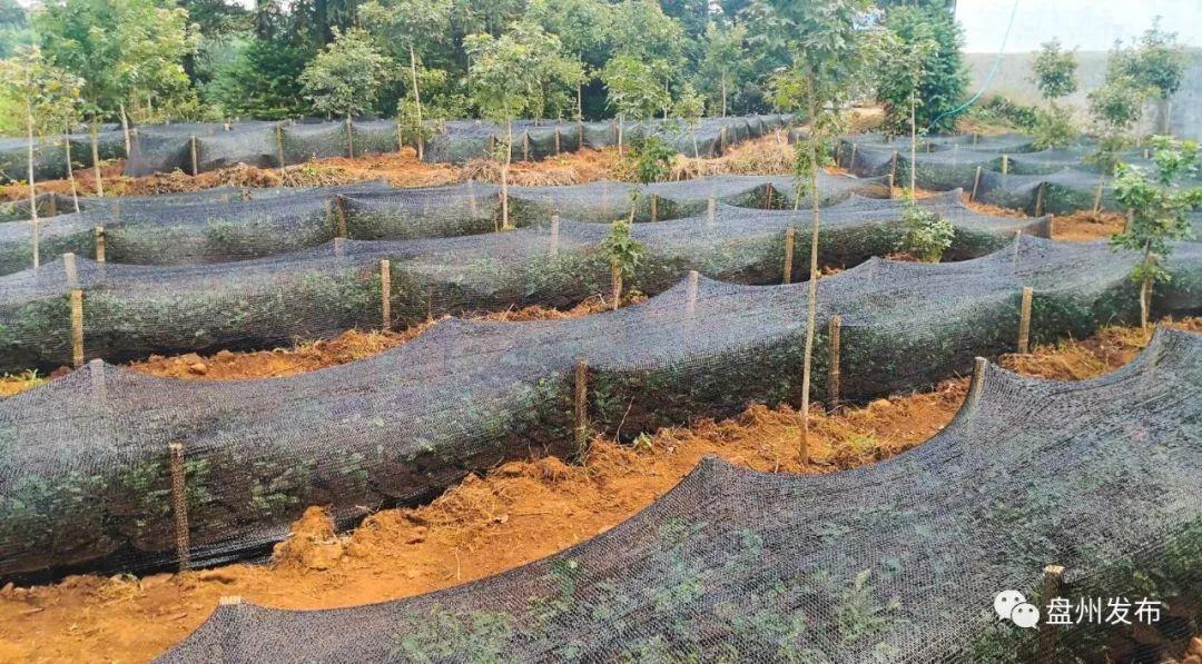 【盘州发布】台湾红玉红茶在盘州成功种植