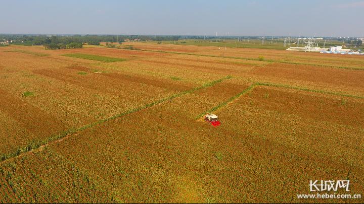 【县域经济看特色】河北阜城:10万亩红高粱映红脱贫致富路