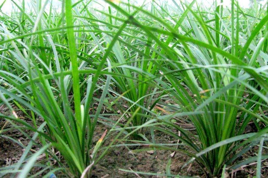 麦冬如何种植,分享最实用的种植方法!