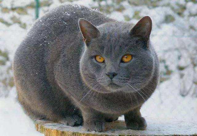 科拉特猫和俄罗斯蓝猫图片