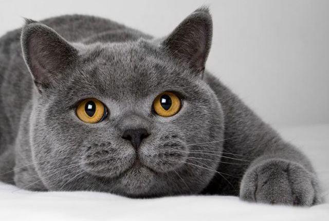 科拉特猫价格图片