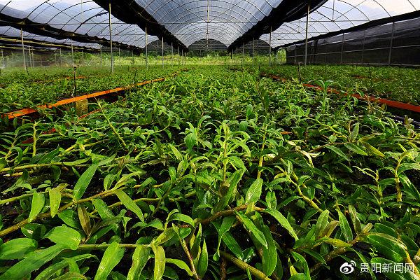 贵州大力发展石斛产业 到2021年总规模将达20万亩