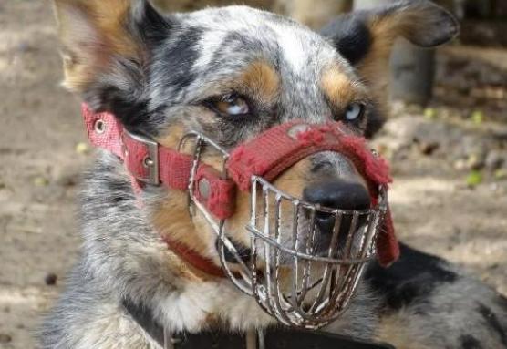 以下4种烈性猛犬,没有十年饲养经验不要碰,都是火药桶
