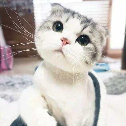 猫咪三联疫苗的作用小科普