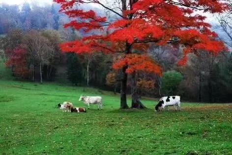 东北秋天的红叶分外香(图)