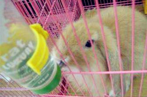 【兔兔の饲养经验】兔子口角炎快速消除小窍门