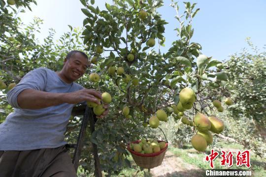 <b>天山南麓新疆尉犁县逾两万亩香梨采摘</b>