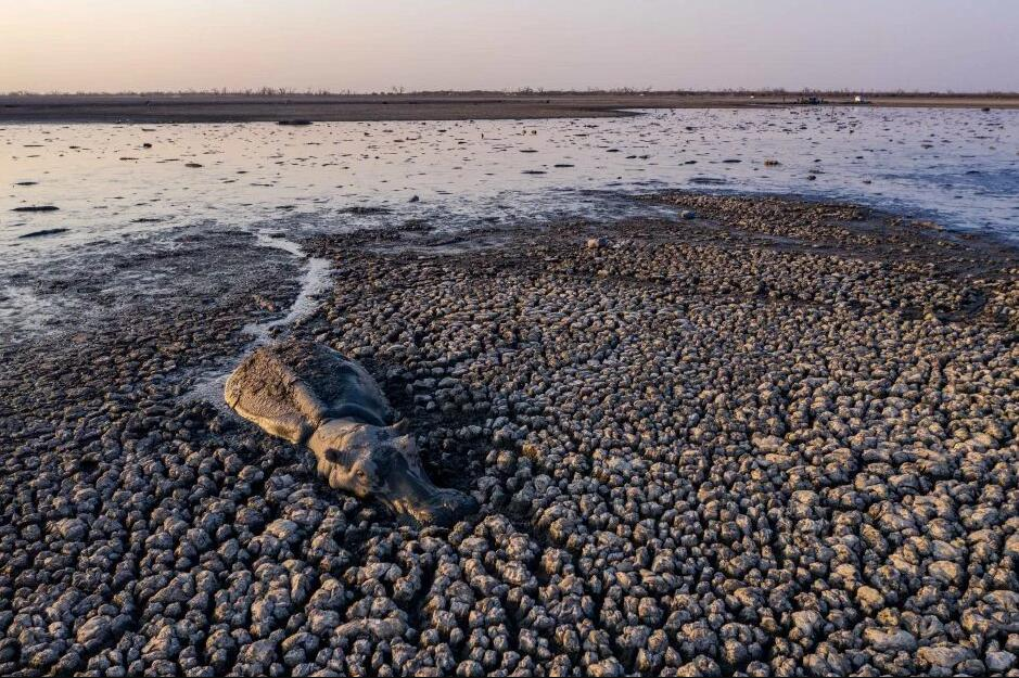 原创 博茨瓦纳遭遇最严重干旱,牛,马和河马在泥泞中博取一线生机