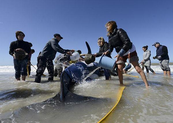 阿根廷一海滩七只虎鲸搁浅 人们齐心协力救回六只