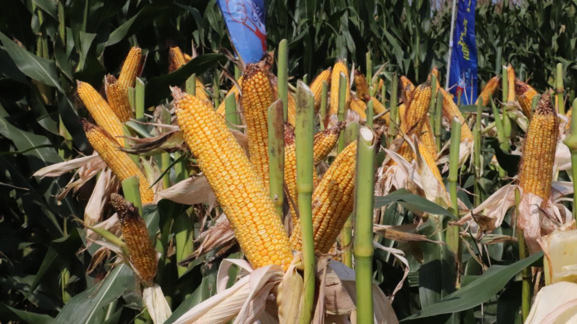 祥云健康肥,养出健康土壤,种出上乘玉米!