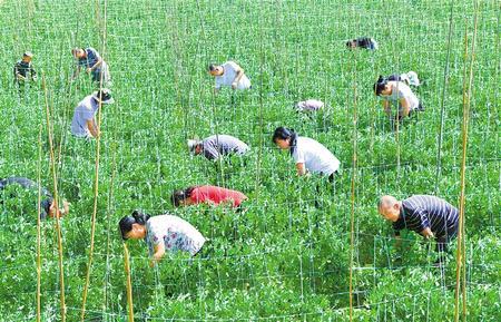 成县陈院镇甜豌豆种植进入管理关键期